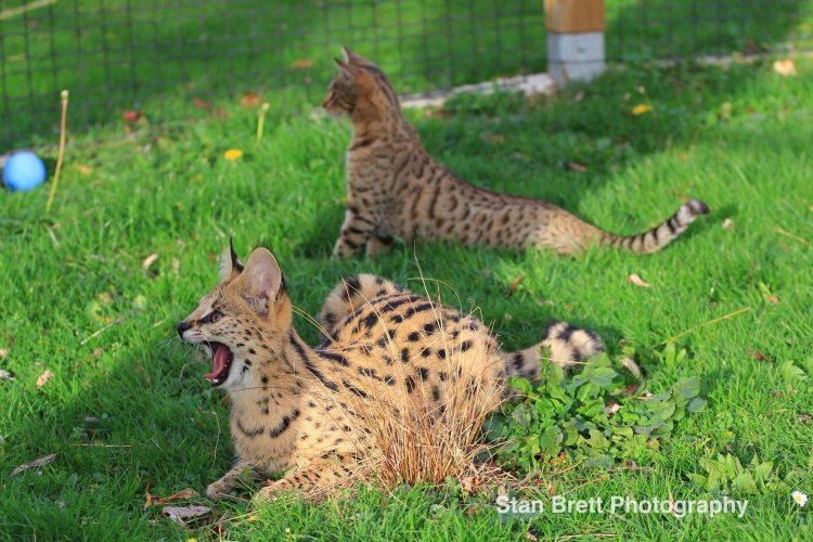 Simba le serval et une Savannah
